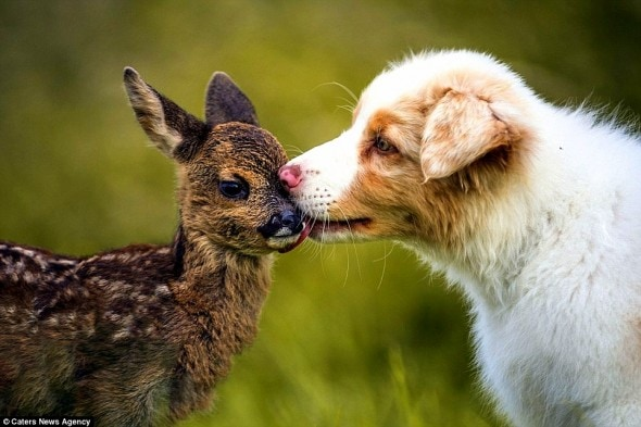 7.5.15 - Puppy Adopts Fawn2