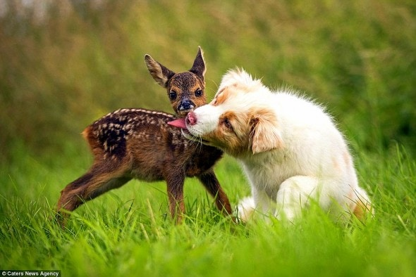 7.5.15 - Puppy Adopts Fawn3