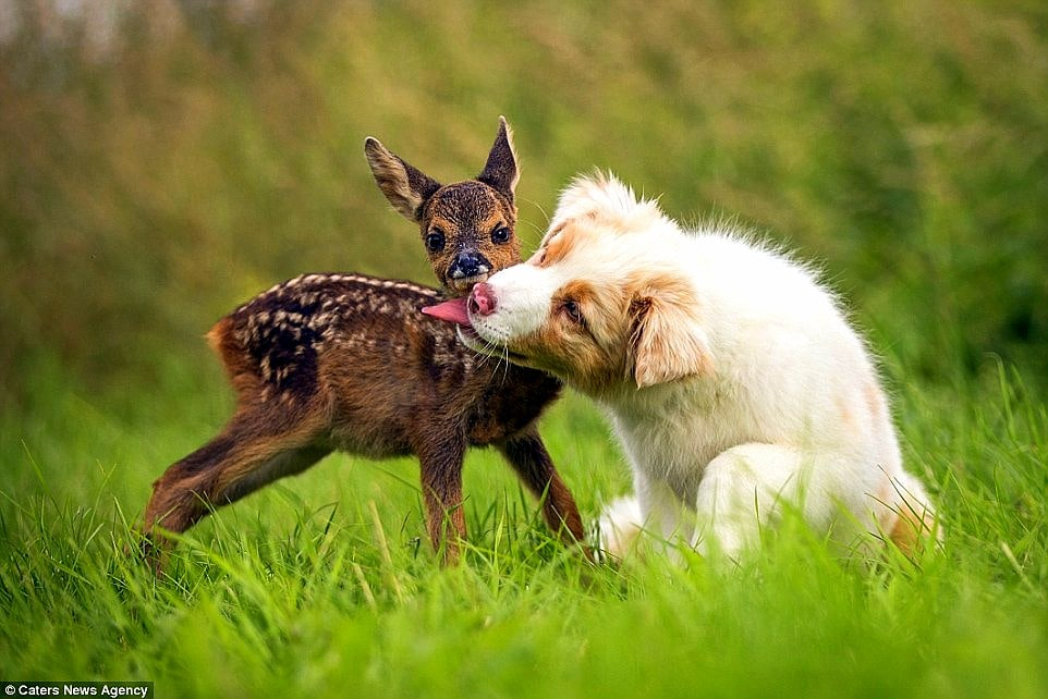 Australian Shepherd Puppy Adopts Orphaned Fawn