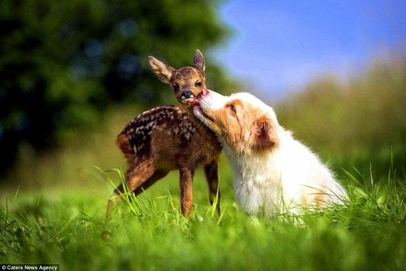 7.5.15 - Puppy Adopts Fawn6