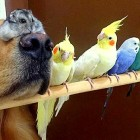 Golden Retriever Is BFFs with Eight Birds and a Hamster