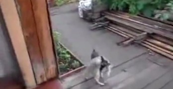 Tiny Dog Carries Stubborn Cat Back Home
