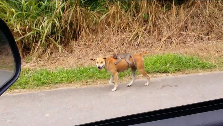 Baby Monkey Riding On A Dog Stray Dog Adopts Orpha...