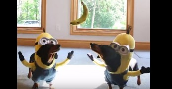 The Wiener Dog Minions Are Back