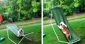 Bulldog Turns Hammock into a Playground