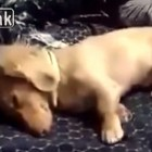 Adorable Dachshund Digs in His Sleep