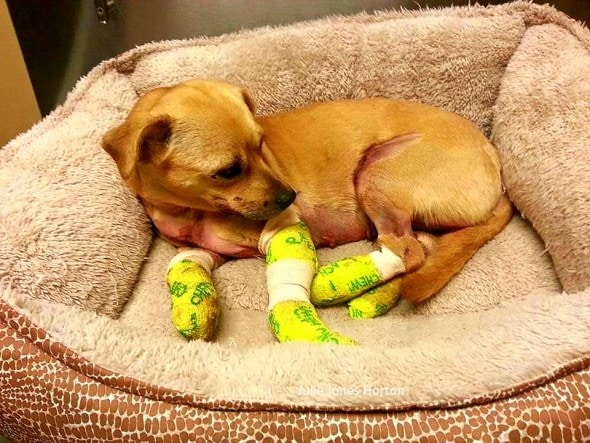 8.19.15 - Woman Saves Dog Shot, Dragged & Abandoned4