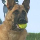 8.25.15 - army dog1