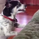 Dog is Overly Cautious About Hitting the Mark
