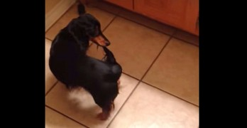 Silly Dog Drags His Tail Through the House