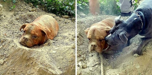 8.6.15 - Dog Buried Alive Is Rescued5