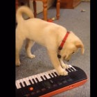 Dog Tries to Play the Keyboard