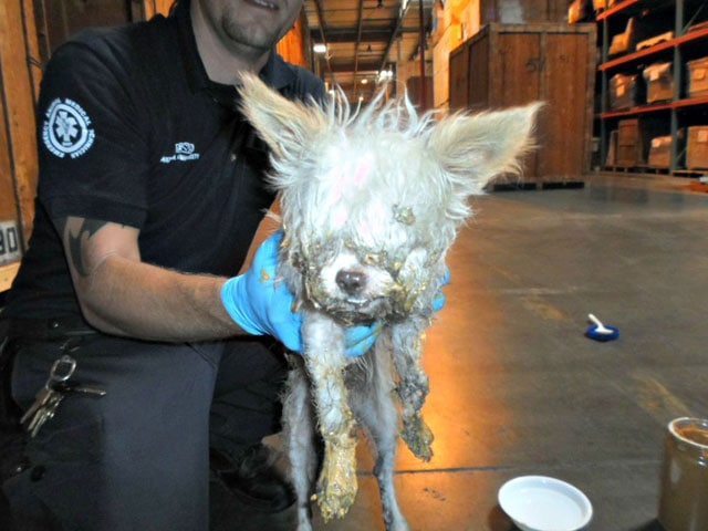 Dog Trapped In Glue Trap Saved By Peanut Butter