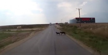 Dog Bites Puppy's Tail to Save Him From Speeding Car