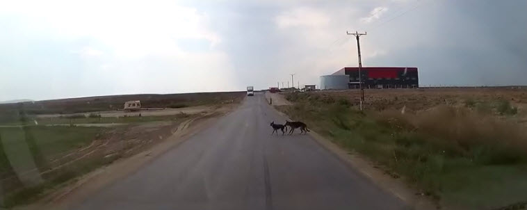 Dog Bites Puppy's Tail to Save Him From Speeding Car