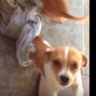 Dog Struggles with Blanket