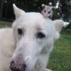 Dog Adopts Baby Opossum