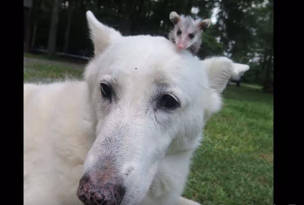 Dog Adopts Baby Opossum