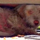 9.101.5 - Dog Living Under Cars Rescued1