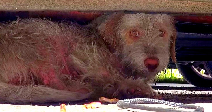 Sick Dog Living Under Cars for Seven Months Finally Rescued