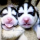 Elderly Alaskan Woman Saves Abandoned Husky Puppies