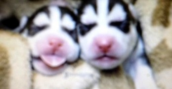 Elderly Alaskan Woman Saves Abandoned Husky Puppies