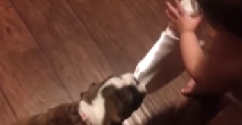Bull Dog Puppy and Baby Play Tug-of-War