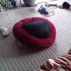 Dog Roomba