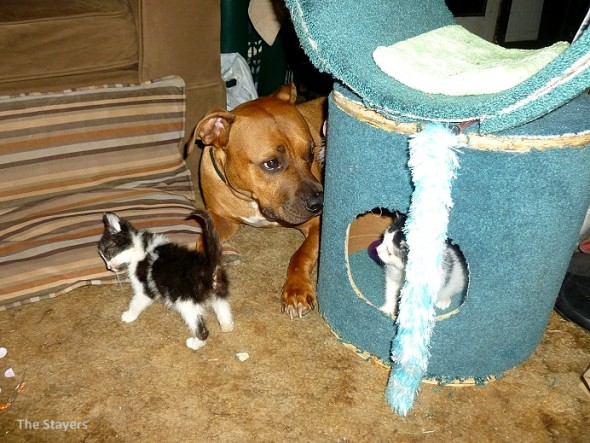9.20.15 - Pit Bull Adopts Kittens10