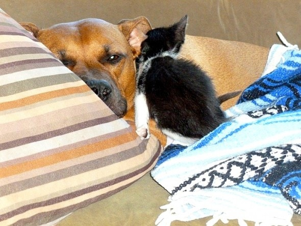 9.20.15 - Pit Bull Adopts Kittens11