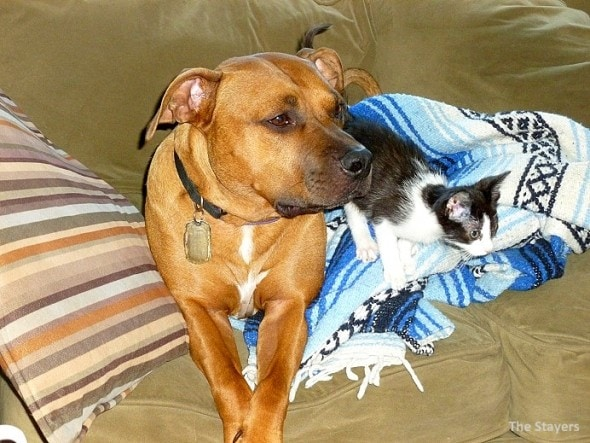 9.20.15 - Pit Bull Adopts Kittens13