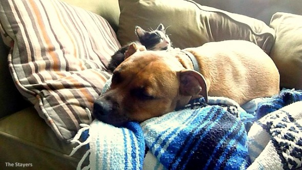 9.20.15 - Pit Bull Adopts Kittens14
