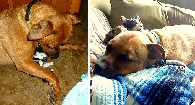 Cat-Chasing Male Pit Bull Adopts Abandoned Kittens