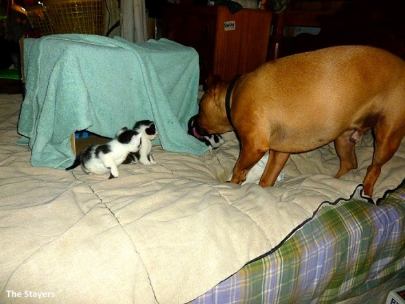 9.20.15 - Pit Bull Adopts Kittens3