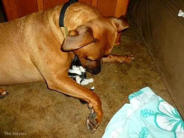 9.20.15 - Pit Bull Adopts Kittens4