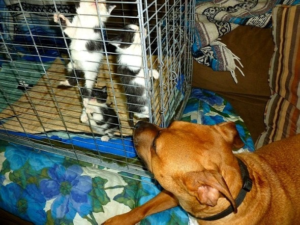 9.20.15 - Pit Bull Adopts Kittens6