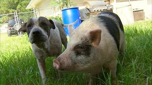 9.25.15 - Dog & Pig Wandering1