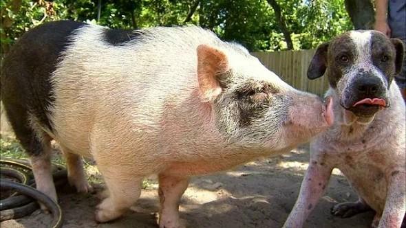 9.25.15 - Dog & Pig Wandering2