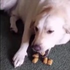 Dog Tries to Give Back Stolen Tater Tots