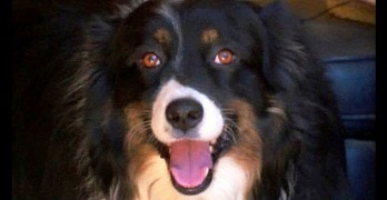 Dog Saves Dogsitter from Burglar