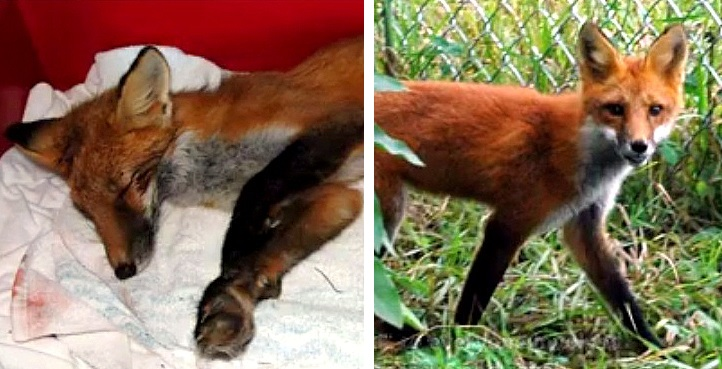"""""""Roadkill"""" Fox Left for Dead Receives a Miracle"""