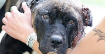 "Bait Dog Rescued from ""Worst Case Ever"" Fighting Ring"