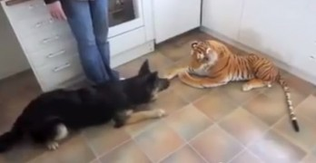 German Shepherd Freaked out by Tiger Toy