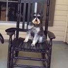 Dog Rocks Himself in Chair