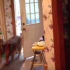 Dog Thinks He's a Door Man