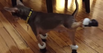 Dog Breaking in new Dancing Boots