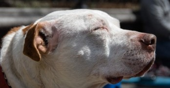 Deaf Dog that Took Bullet for Human no Longer Homeless