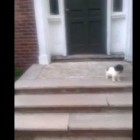 Puppy Finds new Method of Negotiating Stairs