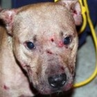Charges Filed Against Two People Tied to Dog Fighting