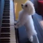 Two Dogs Playing a Piano